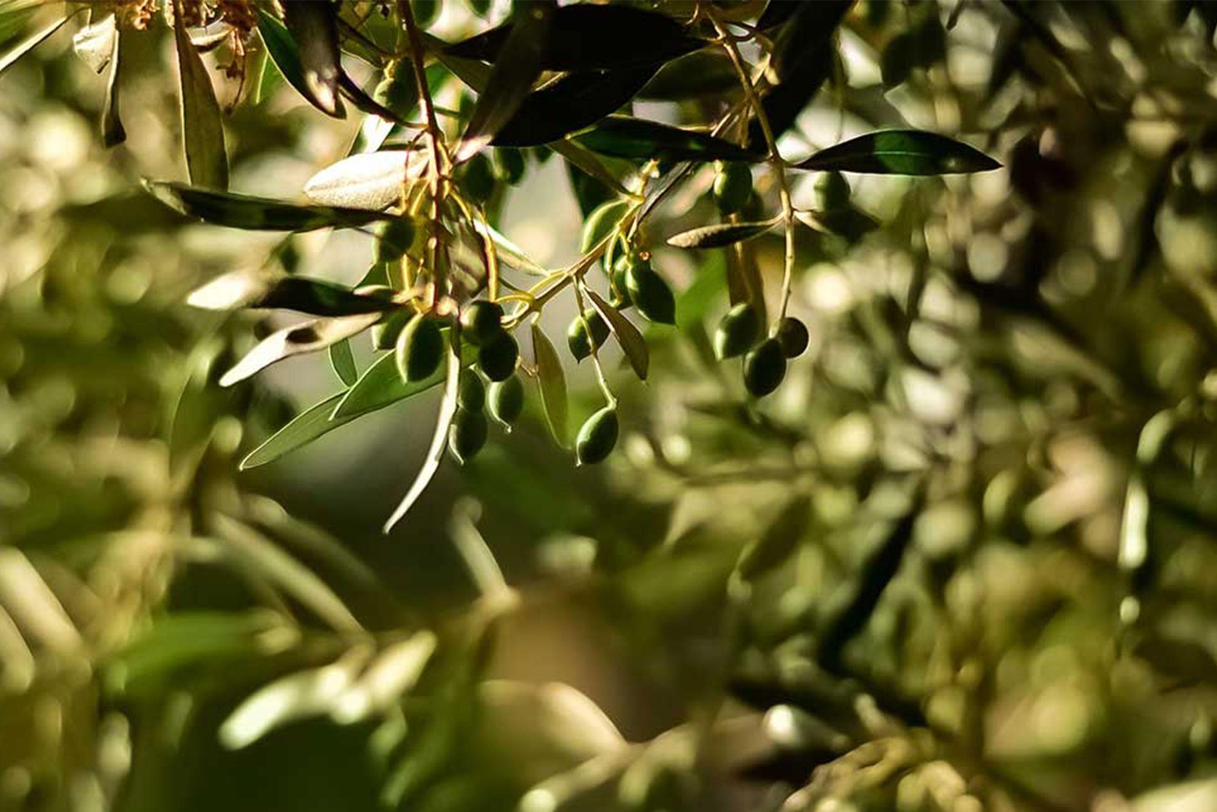 L'olio Extra Vergine d'oliva